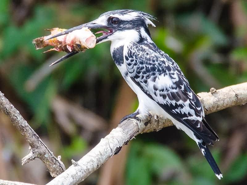Kingfisher with catch, Lake Mburo