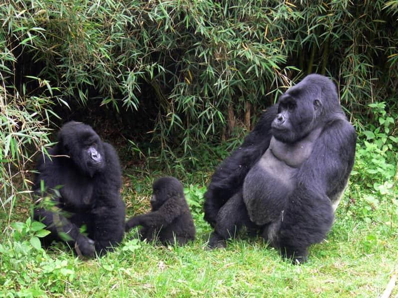 Mountain gorilla family