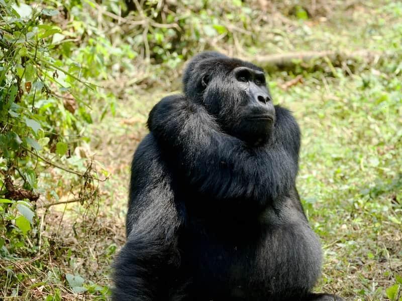 Mountian gorilla scratching