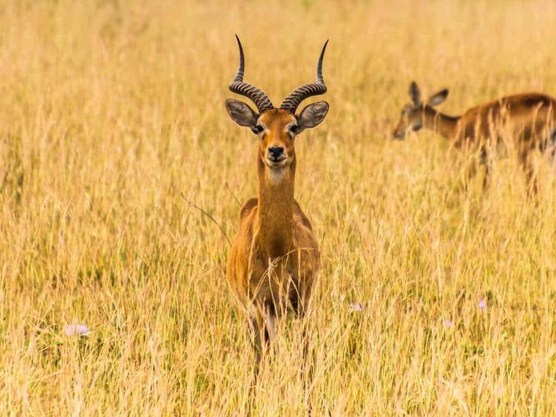 Antelope, Lake Mburo
