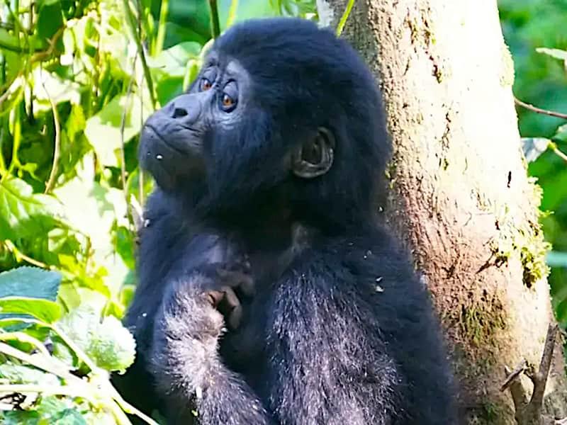 Baby gorilla, Uganda