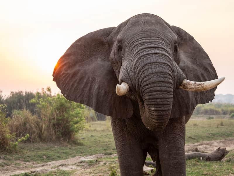 Elephant, Murchison Falls