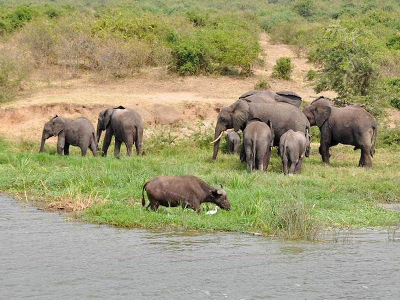 Elephant herd and buffalo by river