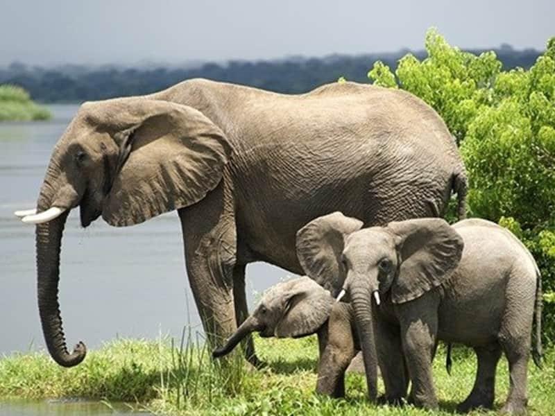 Elephants on riverbank