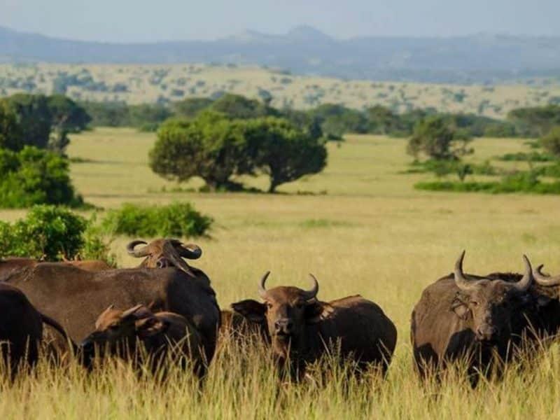 Buffalo on savannah