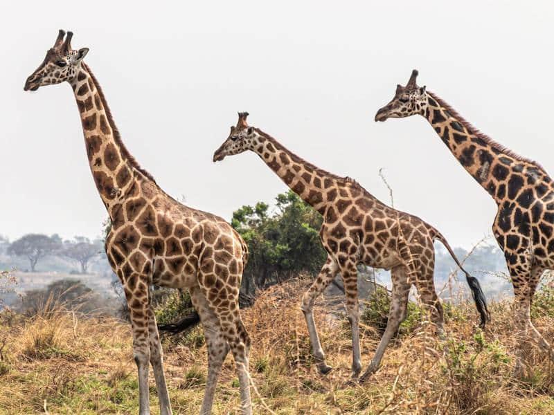Three griraffes, Uganda