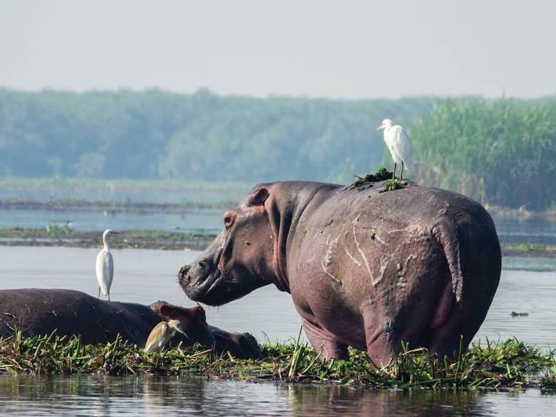 Hippo in lake with cranes