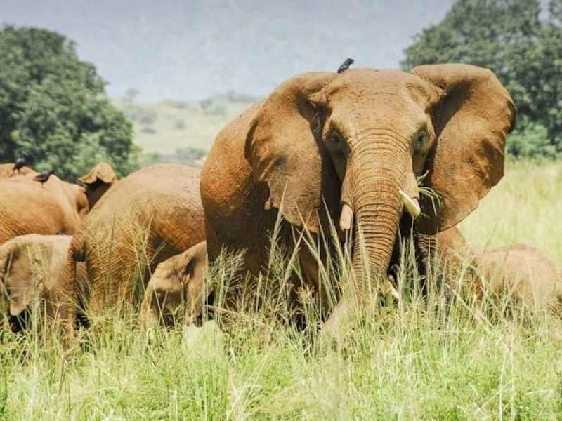 Elephants, Kidepo