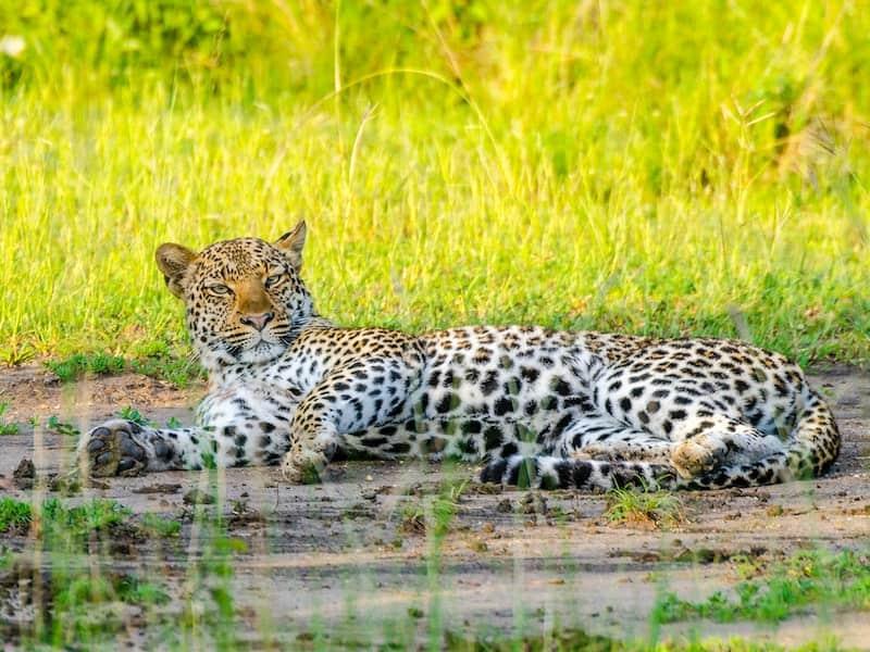 Leopard relaxing, Queen Elizabeth National Park